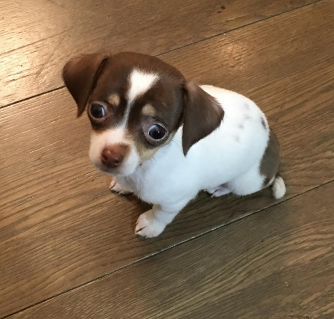 Ray J's new puppy Louie the Chihuahua who was suffering from pneumonia